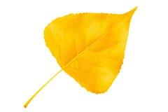在空白背景的黄色秋天叶子白杨树 免版税库存图片