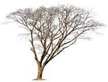 在空白背景的结构树 库存照片