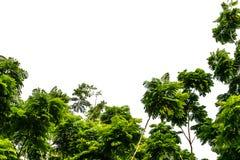 在空白背景的结构树 库存图片