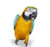 在空白黄色的背景蓝色金刚鹦鹉 免版税库存照片