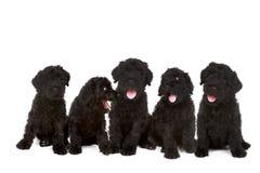 在空白Backgr的小的黑色俄国狗小狗 免版税图库摄影