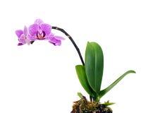 在空白backgrou查出的紫罗兰色兰花排列焦点 免版税库存照片