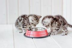 在空的猫碗附近的美丽的灰色小猫 免版税库存照片