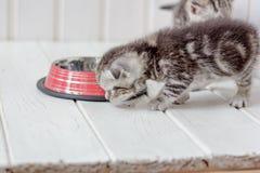 在空的猫碗附近的美丽的灰色小猫 免版税图库摄影