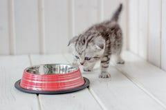 在空的猫碗附近的美丽的灰色小猫 免版税库存图片