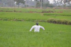 在穿一件白色衬衣的稻田中间惊吓乌鸦 免版税库存图片