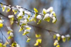 在突然的雪下的桦树分支 免版税图库摄影