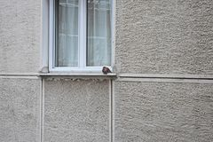 在窗口前面的鸠身分 免版税库存图片