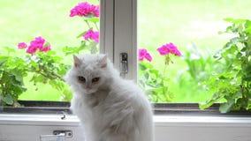 在窗口基石的白色猫 股票视频