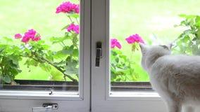 在窗口基石的白色猫 影视素材