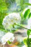 在窗口基石的美丽的精美嫩白色盆的大竺葵花 充满活力的春天夏天绿叶 背景蓝色云彩调遣草绿色本质天空空白小束 库存图片