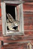 在窗口开头的大角枭 免版税库存图片