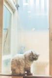 在窗口旁边的孤独的猫在rainny天 图库摄影