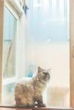在窗口旁边的孤独的猫雨天 库存照片