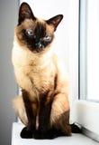 在窗口旁边的家养的湄公河短尾的猫 库存照片