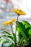 在窗口春天和夏天心情的美丽的黄色雏菊大丁草花 免版税库存图片