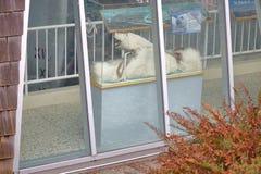 在窗口显示的被充塞的北极熊 库存图片