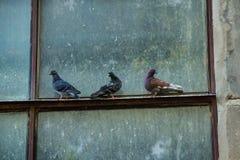 在窗口的三只鸽子 库存图片