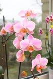 在窗口的兰花 一朵充满活力的热带桃红色和桃子兰花开花,花卉背景 泰国Orch的美丽的家庭花束 免版税库存图片