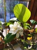 在窗口的开花的苹果树盆景 图库摄影