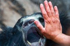 在窗口的手与怠惰黑色亚洲熊 免版税图库摄影