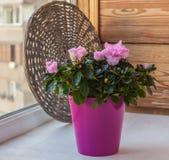 在窗口的桃红色杜娟花杜鹃花 库存照片