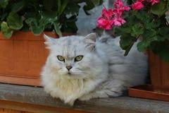 在窗口的灰色猫 免版税库存照片