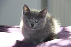 在窗口的短的har猫 免版税库存图片
