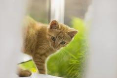 在窗口的红色猫 免版税库存图片