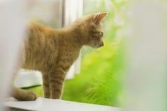 在窗口的红色猫 免版税图库摄影