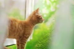 在窗口的红色猫 库存图片