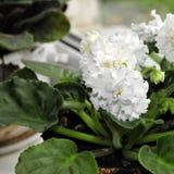 在窗口的美妙地开花的白色紫罗兰 特写镜头 库存图片