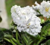 在窗口的美妙地开花的白色紫罗兰 特写镜头 免版税库存照片