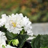 在窗口的美妙地开花的白色紫罗兰 特写镜头 图库摄影