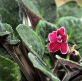 在窗口的美妙地开花的红色紫罗兰 特写镜头 免版税库存照片