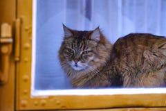 在窗口的脾气坏的家庭猫 库存图片