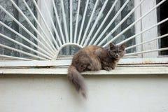 在窗口的野生猫 免版税图库摄影