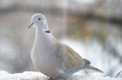 在窗口的鸽子在一个冬日 库存图片