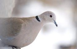 在窗口的鸽子在一个冬日 免版税图库摄影