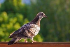 在窗口的鸽子 图库摄影