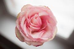 在窗口附近的桃红色玫瑰 特写镜头 库存照片