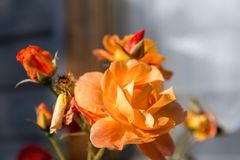 在窗口附近的美丽的开花的玫瑰丛在墙壁上 库存照片