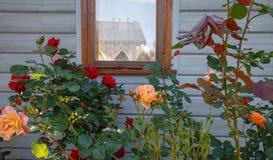 在窗口附近的美丽的开花的玫瑰丛在墙壁上 图库摄影
