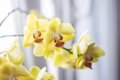 在窗口附近的黄色花兰花植物兰花 免版税库存图片