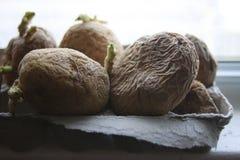 在窗台前面的Chitting土豆为春天种植做准备 库存图片
