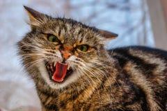 在窗台的一只凶猛,邪恶的猫在街道上 恼怒, mi 免版税图库摄影