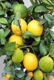 在窗台的柠檬。 库存图片