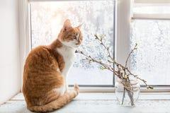 在窗台的红白的猫 图库摄影