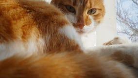在窗台的逗人喜爱的滑稽的红白的猫,关闭 股票视频