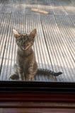 在窗帘后的小猫要回家 免版税库存照片